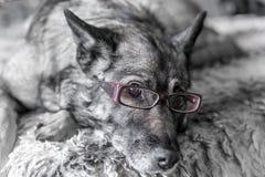 Primer del perro que lleva los vidrios de lectura rosados fotografía de archivo