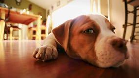 Primer del perro realmente lindo con expresiones adorables Dogo americano almacen de video