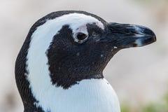 Primer del pingüino fotografía de archivo libre de regalías