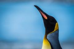 Primer del pingüino de rey con el cuello estirado fotografía de archivo libre de regalías