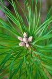 Primer del pino Foto de archivo libre de regalías