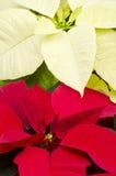 Primer del Poinsettia colorido imagen de archivo libre de regalías