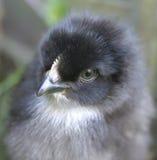 Primer del pollo del bebé Fotos de archivo libres de regalías