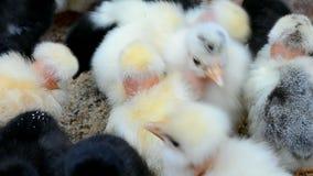 Primer del pollo, diversidad de la naturaleza, ambiente, metrajes