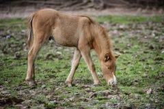 Primer del potro del caballo salvaje del río Salt Fotos de archivo