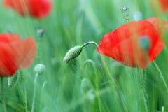 Primer del prado de la flor de las amapolas Imagenes de archivo