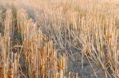 Primer del rastrojo del trigo Foto de archivo libre de regalías