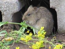 Primer del ratón de prado que alimenta en las plantas Imagen de archivo libre de regalías