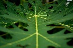 Primer del árbol de la hoja de la papaya Imagen de archivo