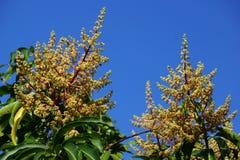 Primer del árbol que comienza a florecer con los brotes Imagen de archivo