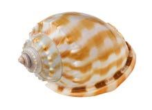 Primer del recorte del shell del mar fotografía de archivo