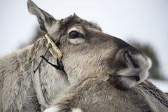 Primer del reno Fotos de archivo libres de regalías