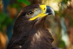 Primer del retrato del águila de la estepa Fotografía de archivo
