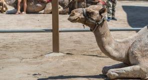Primer del retrato del camello foto de archivo libre de regalías