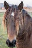 Primer del retrato de la cabeza de caballo Fotografía de archivo