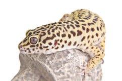 Primer del retrato del Gecko imagenes de archivo