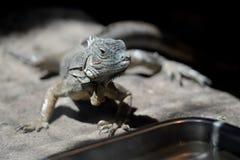 Primer del retrato del lagarto de Iguane Imagen de archivo