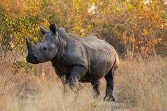 Primer del rinoceronte blanco, parque de Kruger imagenes de archivo