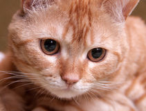 Primer del rojo del gato Fotografía de archivo