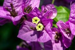 Primer del rosa y de la flor amarilla de la buganvilla imágenes de archivo libres de regalías