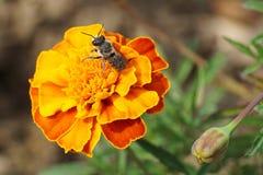 Primer del rotu caucásico gris y rayado mullido del Megachile de la abeja Imágenes de archivo libres de regalías