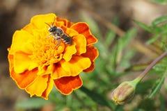 Primer del rotundata caucásico del Megachile de los himenópteros de la abeja encendido Imágenes de archivo libres de regalías