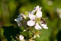 Primer del rubus de la flor de la zarzamora de la abeja de la miel de los apis que visita en primavera delante del fondo verde na Foto de archivo libre de regalías