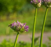 Primer del schoenoprasum del allium La abeja recoge el néctar en las cebolletas violetas florece imágenes de archivo libres de regalías