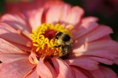 Primer del serrisquam rayado mullido caucásico del Bombus del abejorro Fotos de archivo