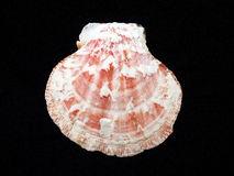 Primer del shell del mar en fondo negro Fotografía de archivo