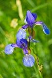 Primer del sibirica del iris Imágenes de archivo libres de regalías