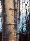 Primer del solo árbol de abedul en bosque en la puesta del sol Foto de archivo