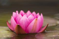 Primer del solo rosa que florece waterlily flotando en el agua fotos de archivo libres de regalías