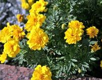 primer del Suave-foco de flores amarillas Imágenes de archivo libres de regalías