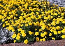 primer del Suave-foco de flores amarillas Fotos de archivo