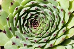 Primer del succulent del sempervivum imagen de archivo