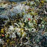 Primer del suelo del bosque con el liquen rojo de la taza del duendecillo Imagenes de archivo