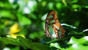 Primer del superficie inferior de la mariposa de la malaquita Fotos de archivo libres de regalías