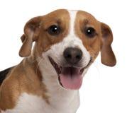 Primer del terrier de Gato Russell fotos de archivo
