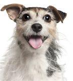 Primer del terrier de Gato Russell, 7 años Imagenes de archivo
