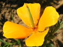 Primer del tiro de las variedades de Eschscholzia de la flor imagen de archivo