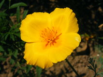 Primer del tiro de las variedades de Eschscholzia de la flor imagenes de archivo