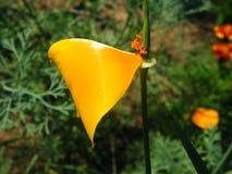 Primer del tiro de las variedades de Eschscholzia de la flor fotografía de archivo libre de regalías