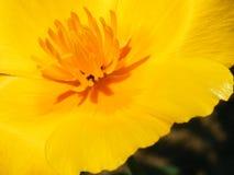 Primer del tiro de las variedades de Eschscholzia de la flor fotos de archivo