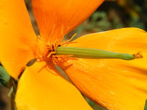 Primer del tiro de las variedades de Eschscholzia de la flor fotografía de archivo