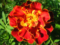 Primer del tiro de las variedades de Tagetes de la flor fotografía de archivo libre de regalías