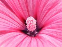 Primer del tiro de las variedades del Lavatera de la flor foto de archivo