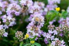 Primer del tomillo salvaje con una abeja Foto de archivo