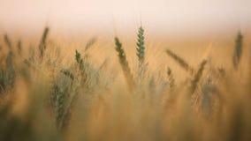 Primer del trigo almacen de video