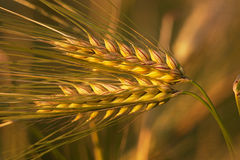 Primer del trigo de oro Imagen de archivo libre de regalías